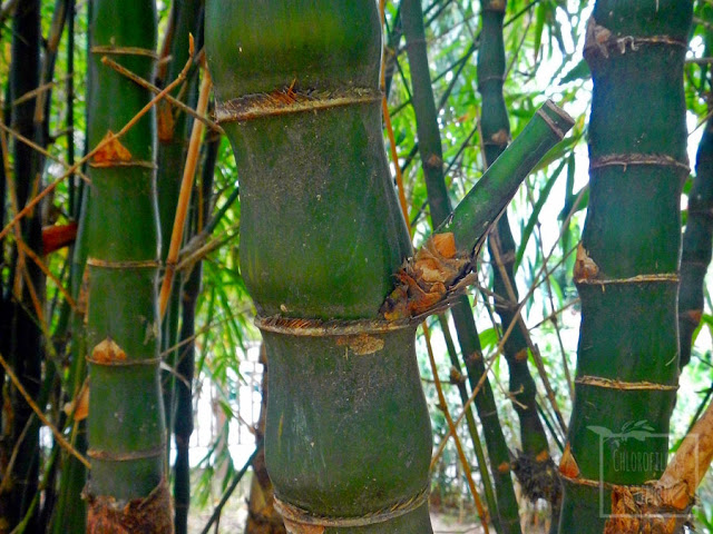 Jak wygląda Ogród Botaniczny w Hong Kongu? Relacja podróżnicza/botaniczna z ogrodu w Hong Kongu. Jak wygląda fikus w naturze? Egzotyczny Ogród Botaniczny, ciekawostki roślinne, botaniczne. Kwiaty tropikalne, ciekawe bambusy, mało znane rośliny egzotyczne, zdjęcia, fotograficzna relacja.