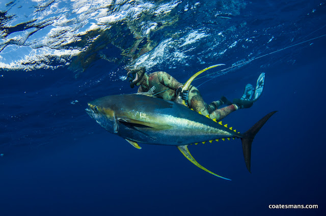 Spearfishing Yellowfin Tuna Chris Coates