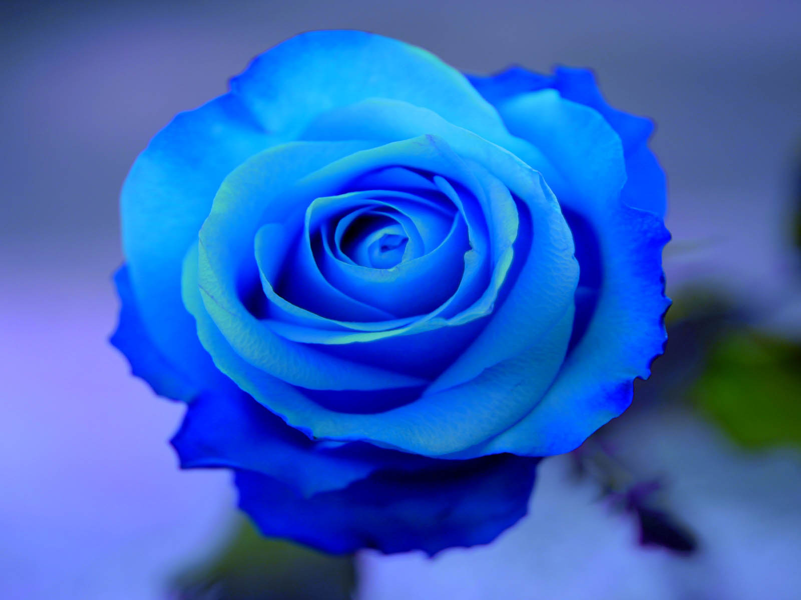 wallpapers: Blue Rose Wallpapers