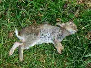 kelinci mati