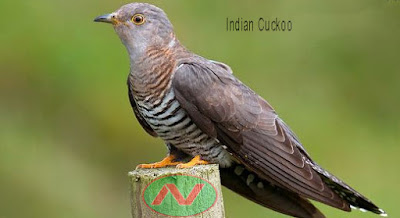 indian cuckoo bird, বউ কথা কও
