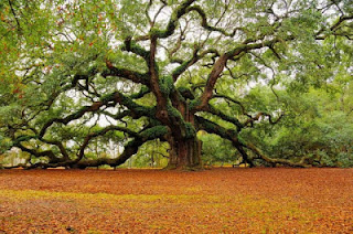 Pohon  Angel Oak