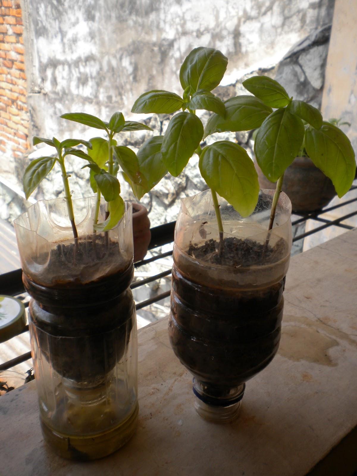 FreshHerbs Mint Pot Tanaman dari Sampah Plastik