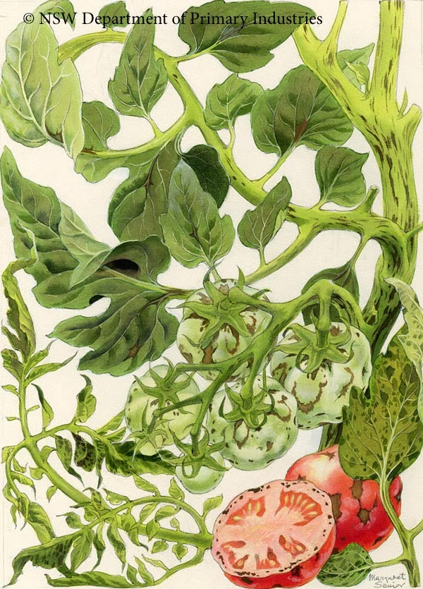 Botanical illustration of mosaic virus on tomatoes