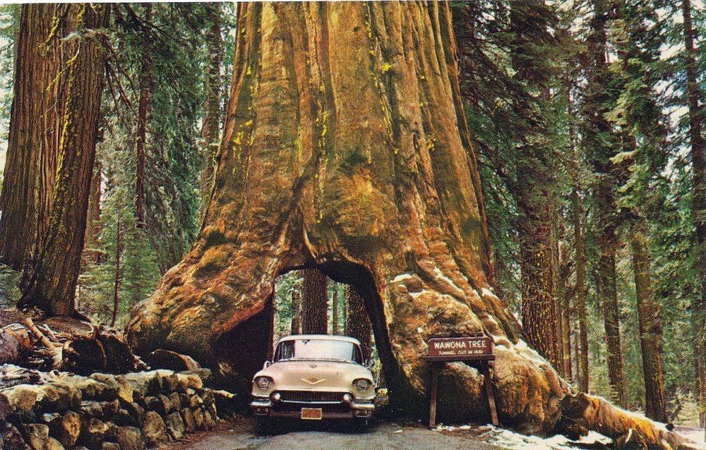 красные деревья которые растут в штате калифорния снимает мобилу
