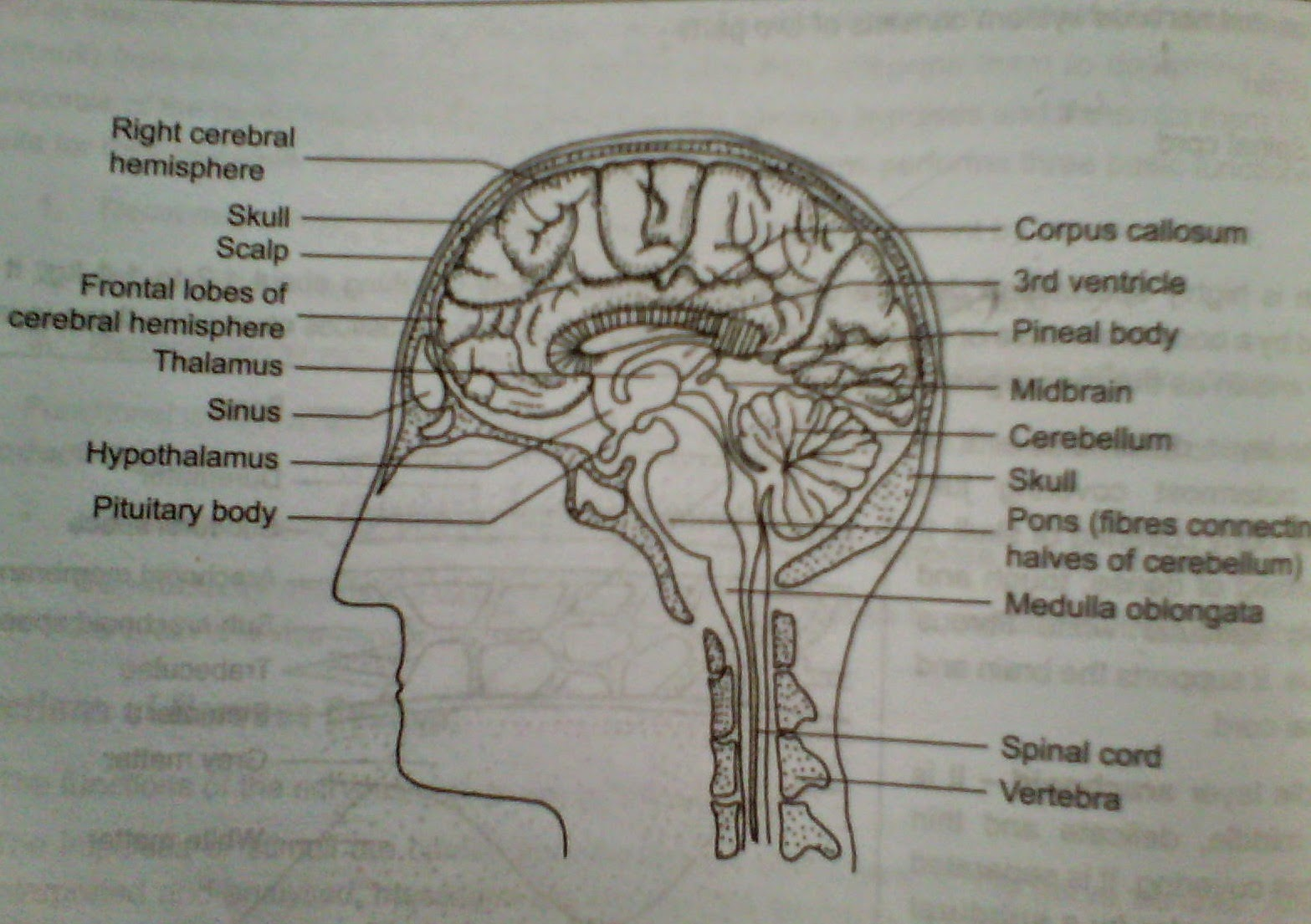 Human Brain Diagram Sagittal Battery Wiring For Club Car Zoology Hseb Nervous System Or Co Ordination