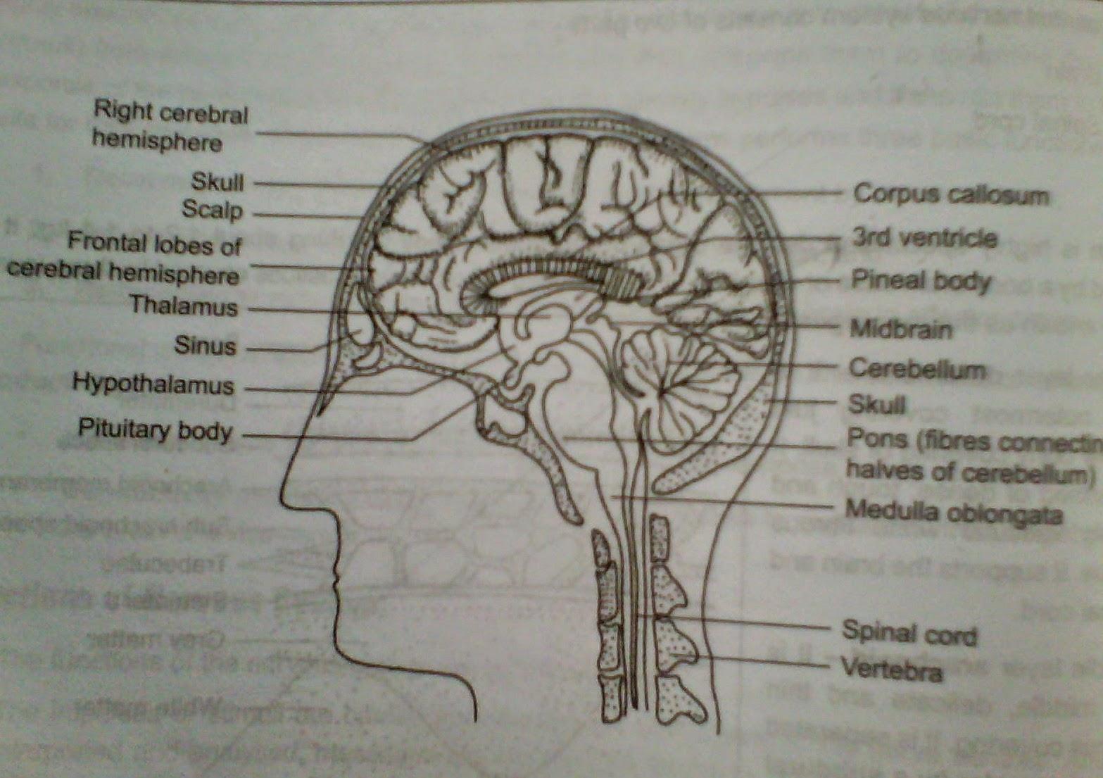 Zoology For Hseb Nervous System Or Nervous Co Ordination