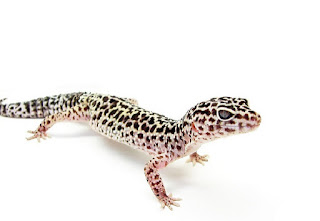 Pet Tip: Do Not Keep Leopard Gecko, If You Do Not Have These Features.
