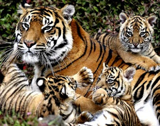 Induk harimau dengan anak-anaknya