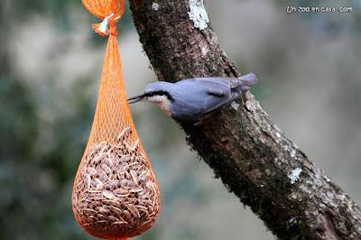 Trepador azul comiendo pipas de una red