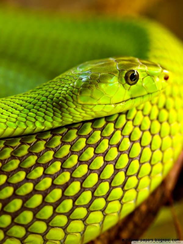 Macro photography white snakes wallpaper all hd wallpapers - Green snake hd wallpaper ...