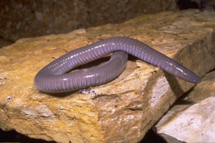 Amphibians: Dermophis mexicanus