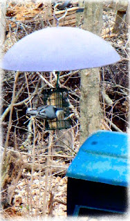 nuthatch on suet image