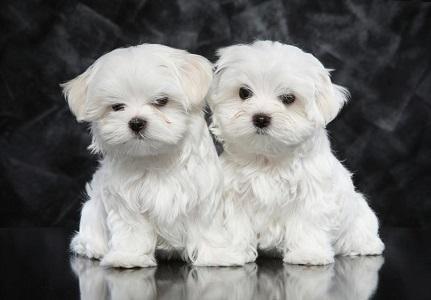 Küçük Köpekler - Büyümeyen Köpek Türleri