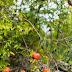آفات وأمراض شجرة الرمان