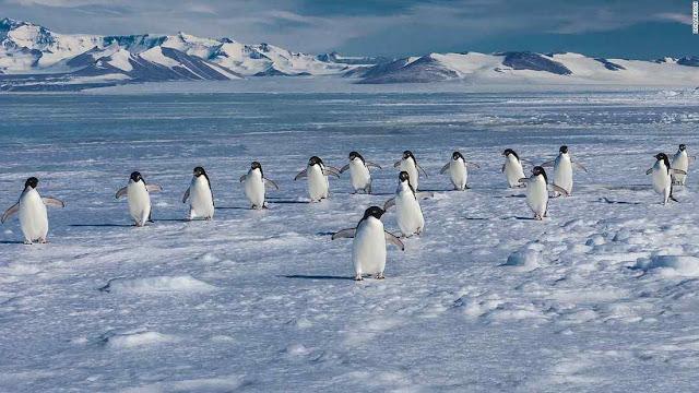 Pinguins de Adélia à procura de mar onde pescar e alimentar os filhotes.