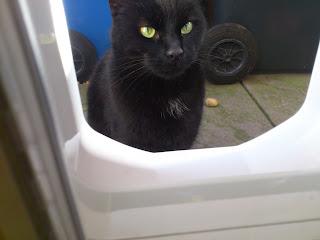 Black cat at Sureflap Mirco chip cat flap