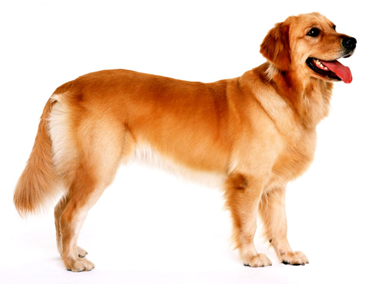 Golden Retriever Puppy Dog New Hd Desktop Wallpapers Free Download