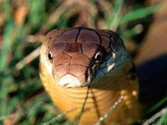 A cobra-real