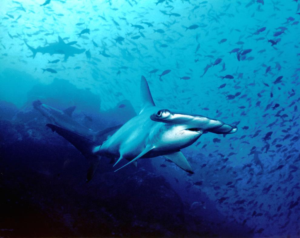 اسماك القرش تحت الماء 3.jpg