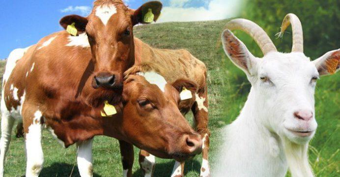 sapi dan kambing kurban