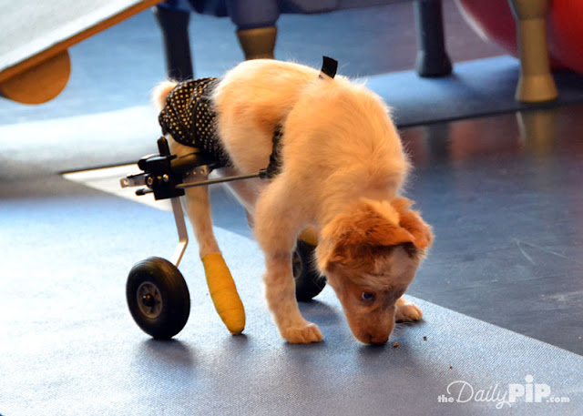 LaCroix, a Cattle Dog puppy rescued from a hoarder, was born with Spina Bifida