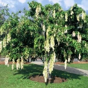 Tukang taman menjual pohon sapu tangan dengan harga murah