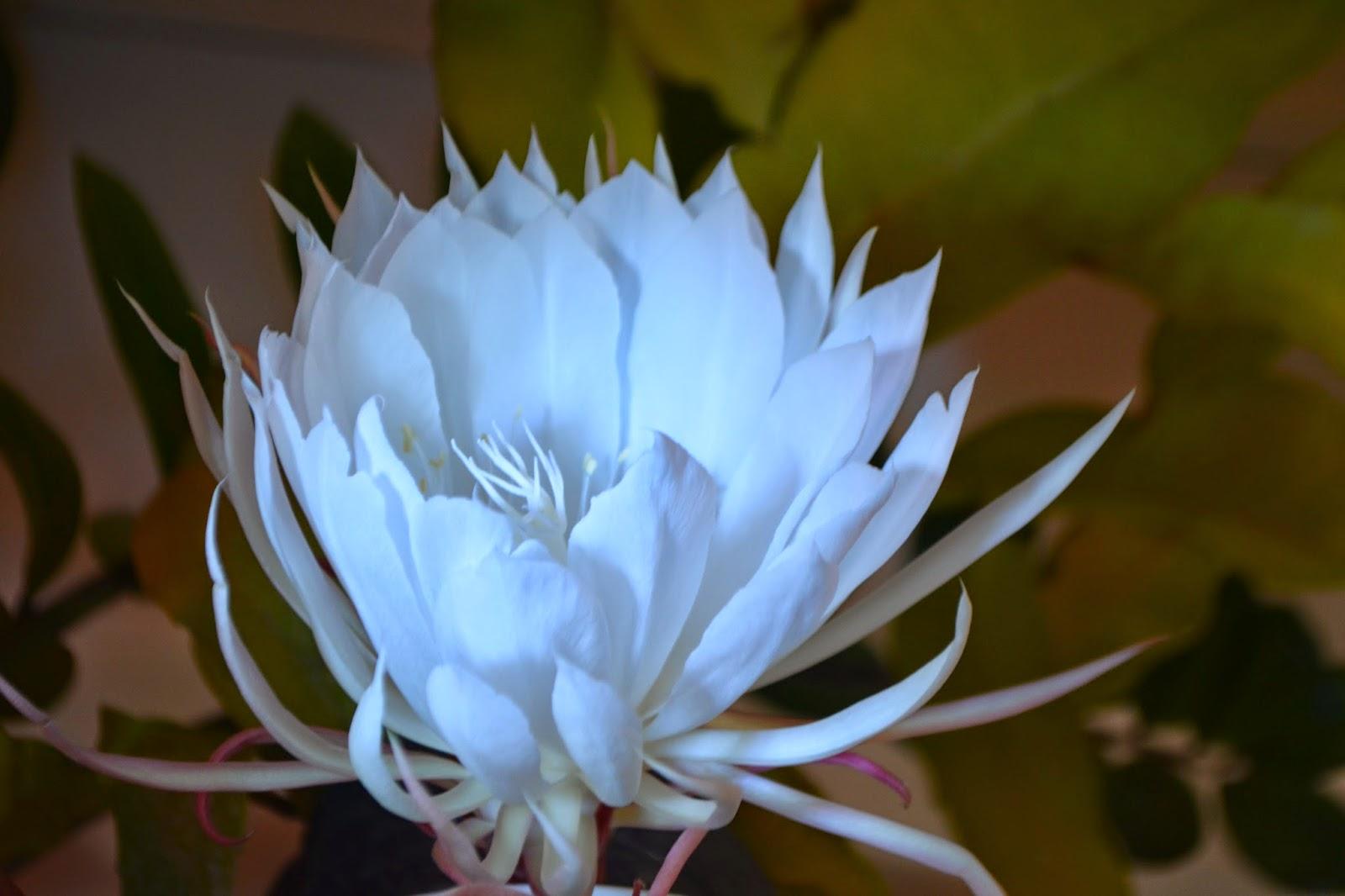 Epiphyllum oxypetalum. Flor de una noche, compleja y perfumada. Epífita o e. Dama de noche. Reina de la noche.