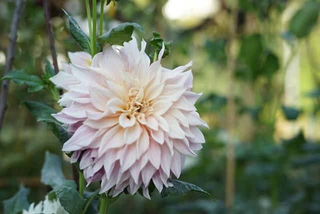 dalias. flores de floritismo