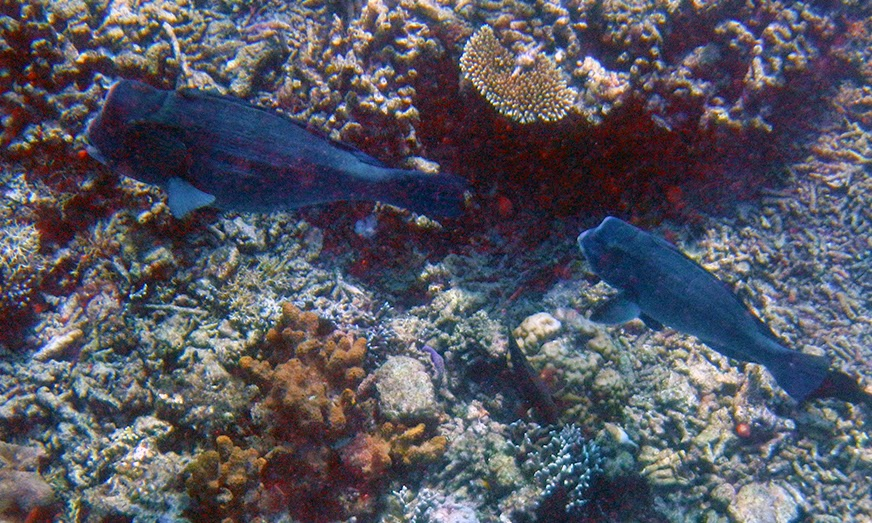 Ikan Humphead Parrotfish di Turtle Traffic, mirip dengan ikan Napoleon