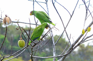 White-fronted Parrots in Puriscal