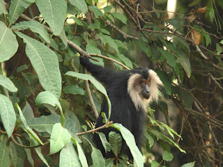 Lion Tailed Macaque,Macaca silenus, kmtr monkeys