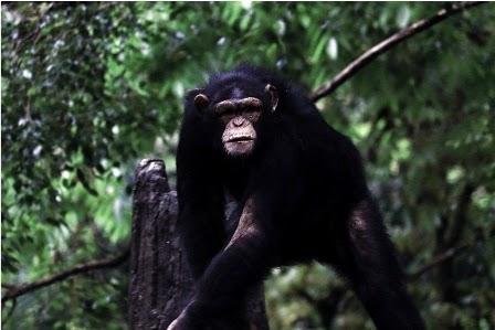 Raja Simpanse