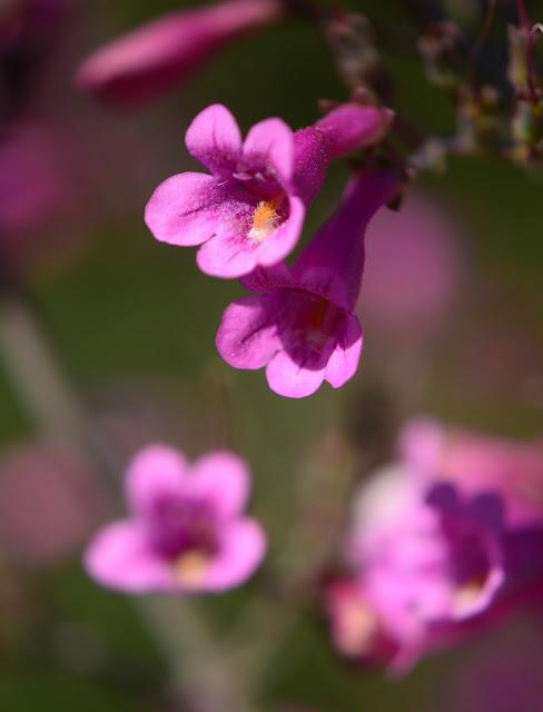 small sunny garden, desert garden, amy myers, photography, about the garden, penstemon parryi, desert penstemon, plant selection
