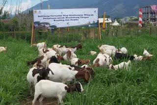 kambing-boerka murah