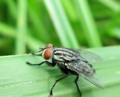 Lalat Menjijikkan ! Benarkah ? Fakta Berikut Bikin Kamu Tercengang