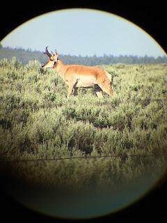 Idaho Antelope