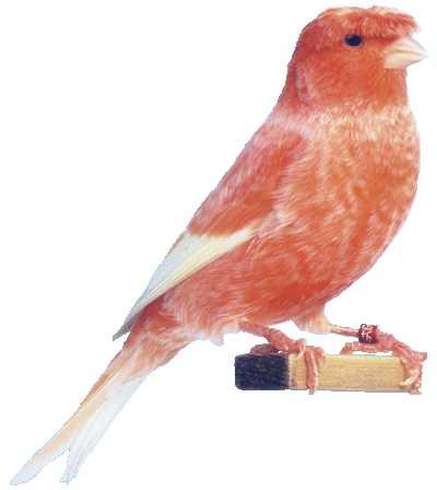 Burung Kenari Stafford