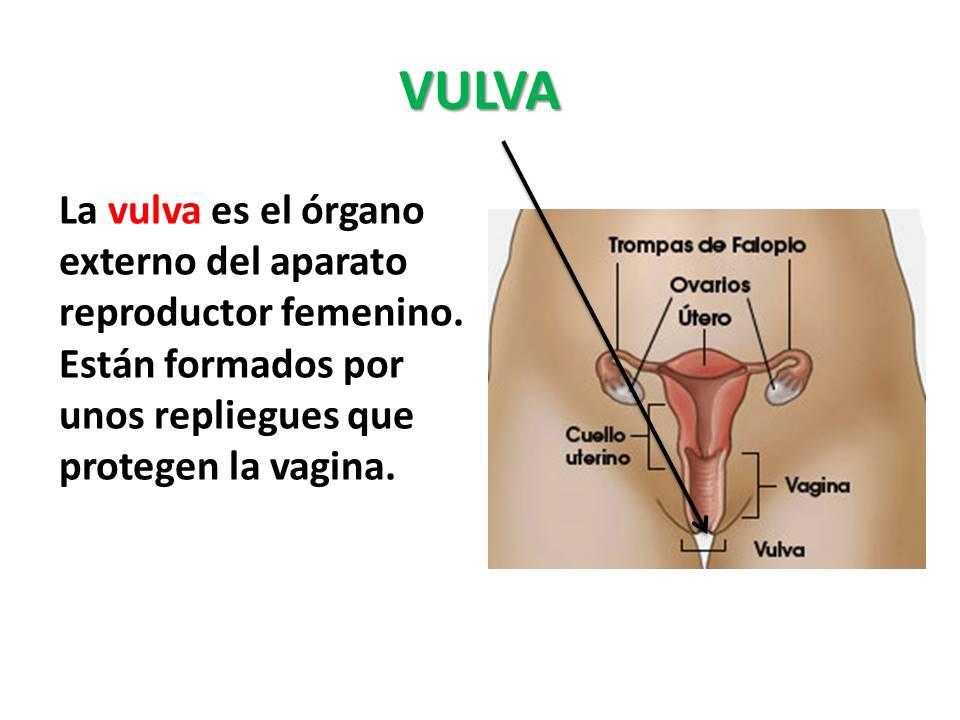 Único Sistema Masculino Hoja Reproductiva Ilustración - hojas de ...