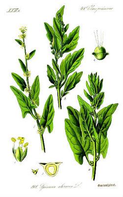 Espinaca planta en Fichas de Plantas