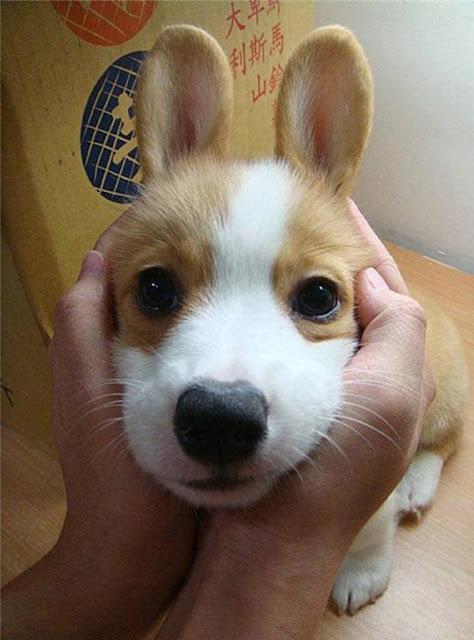 Corgi nhóc tì dễ thương và đáng yêu