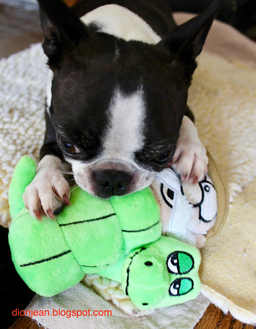 Sinead the Boston terrier with her toy