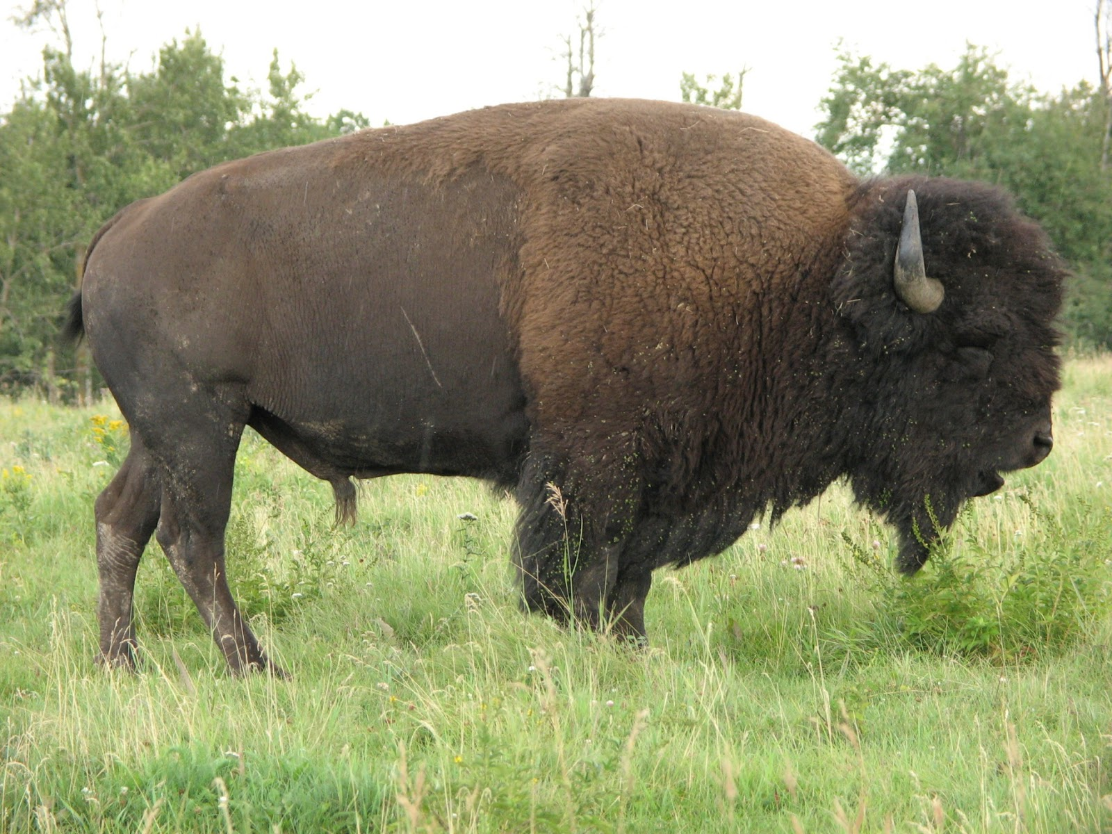 All About Animal Wildlife American Bison Animal Few Facts