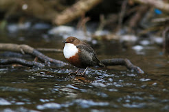 Male Dipper,Hilla Green,North Yorkshire.