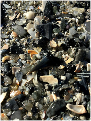 March 7, 2019 Finding sharks teeth on a new beach.