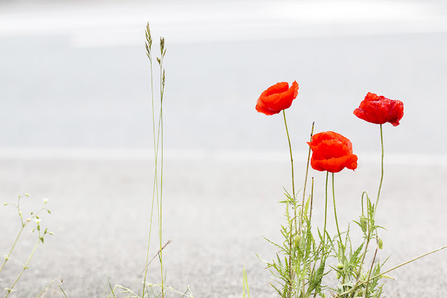 Poppies by Road