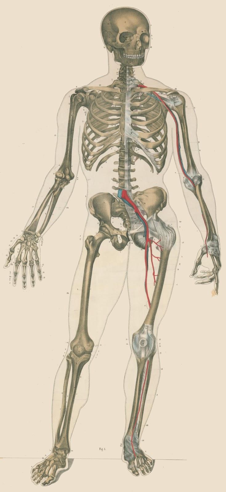 Data Deluge: Lambert\'s Pictorial Anatomy (1851)