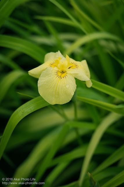 菖蒲、交配種 愛知の輝きの写真