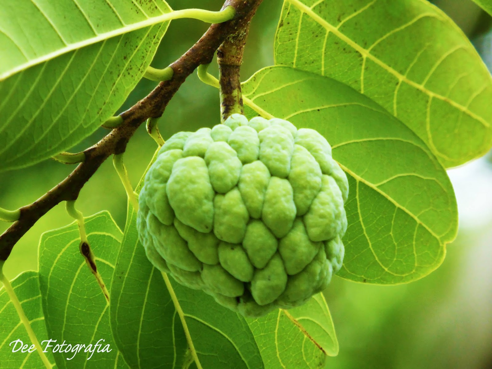 32 AMAZING HEALTH BENEFITS AND USES OF CUSTARD APPLE/SUGAR
