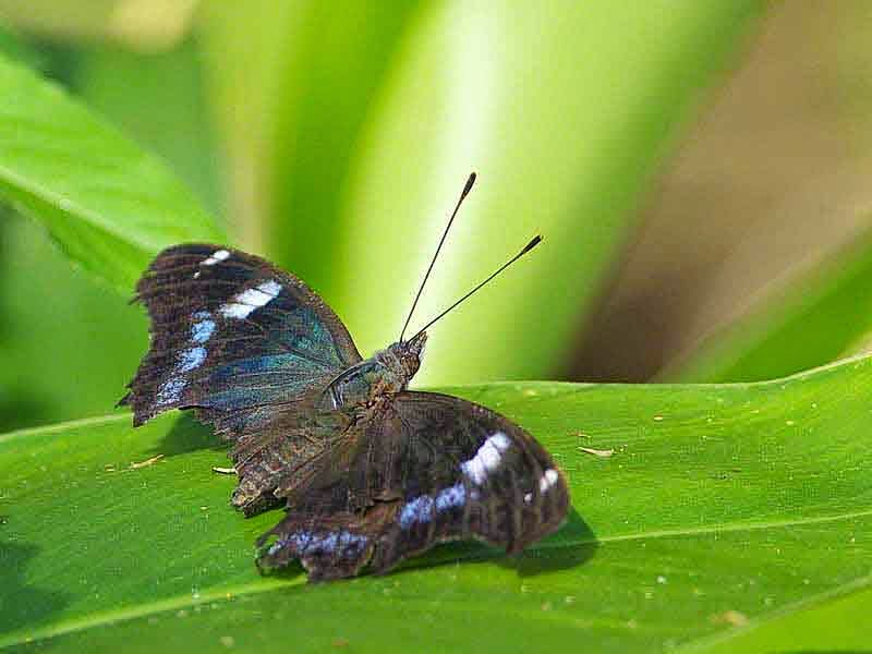 Blue Admiral butterfly